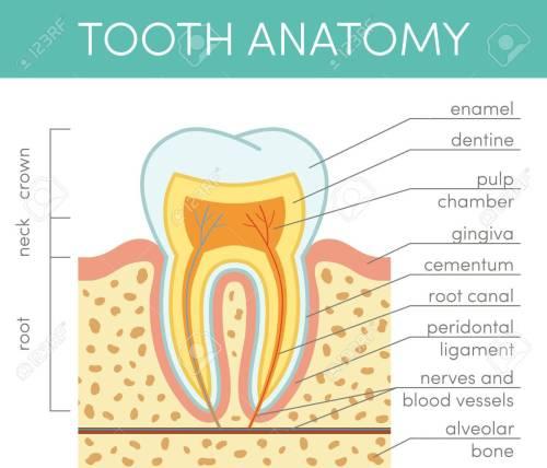 small resolution of human tooth anatomy vector diagram of healthy molar stock vector 69007270
