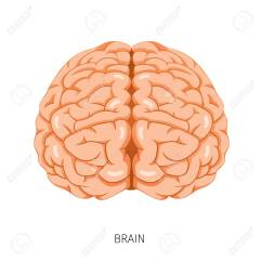 Internal Brain Diagram Clam Anatomy Human Organ Physiology Structure Medical Profession Morphology