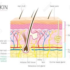 Skin Layers Diagram Labeled Simple Blank Lab Fishbone Template System Wiring Human Anatomy And Hair Complexion Physiology