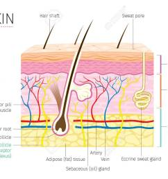human anatomy skin and hair diagram complexion physiology system medical  [ 1300 x 1040 Pixel ]