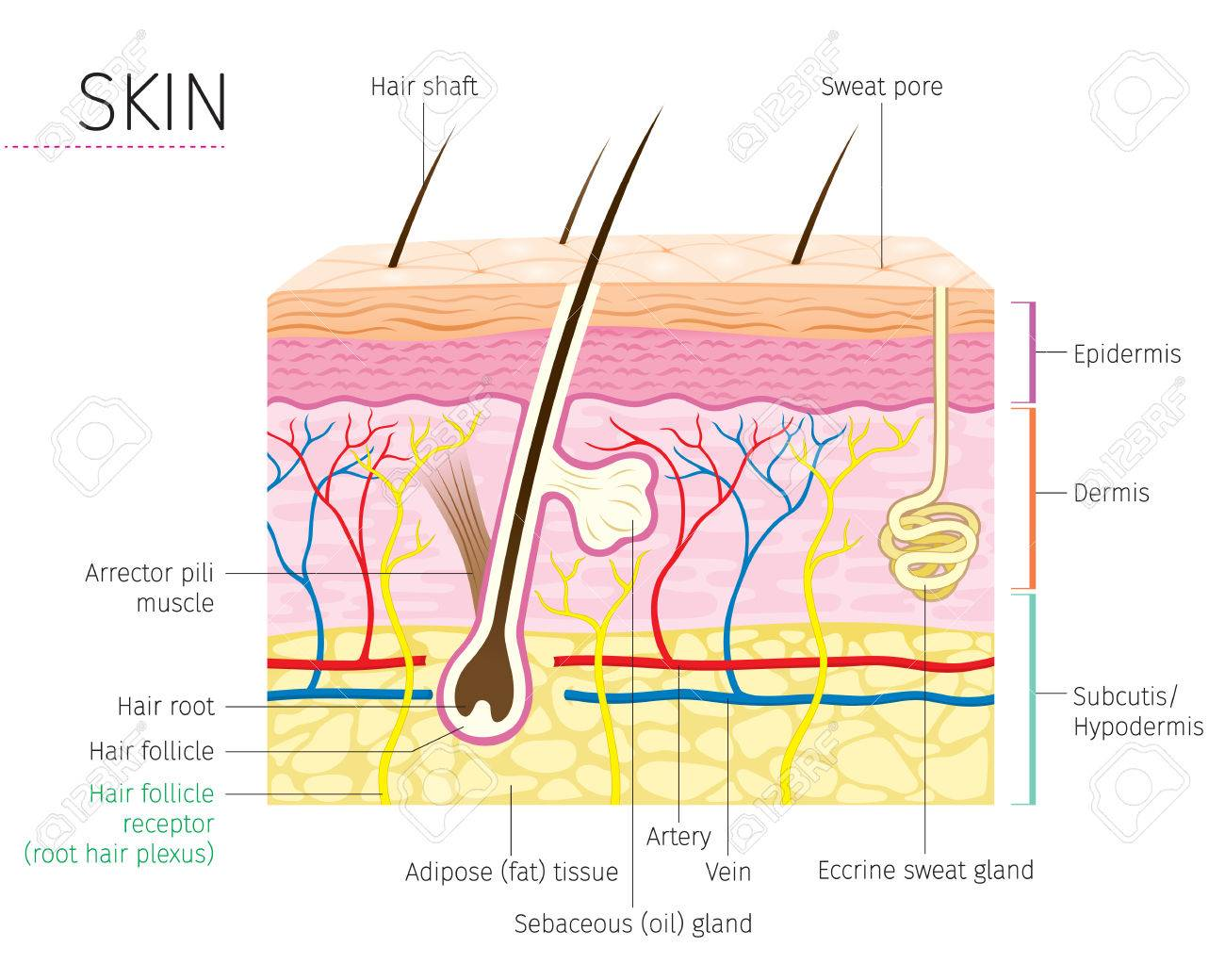 hight resolution of human anatomy skin and hair diagram complexion physiology system medical
