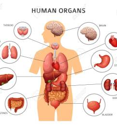 body organs diagram wiring diagram diagram of body organs from back body organs diagram [ 1300 x 1094 Pixel ]