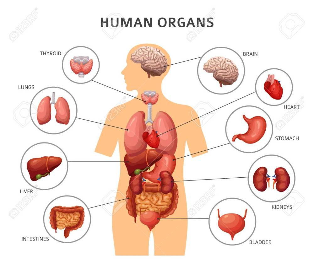 medium resolution of body organs diagram wiring diagram diagram of body organs from back body organs diagram