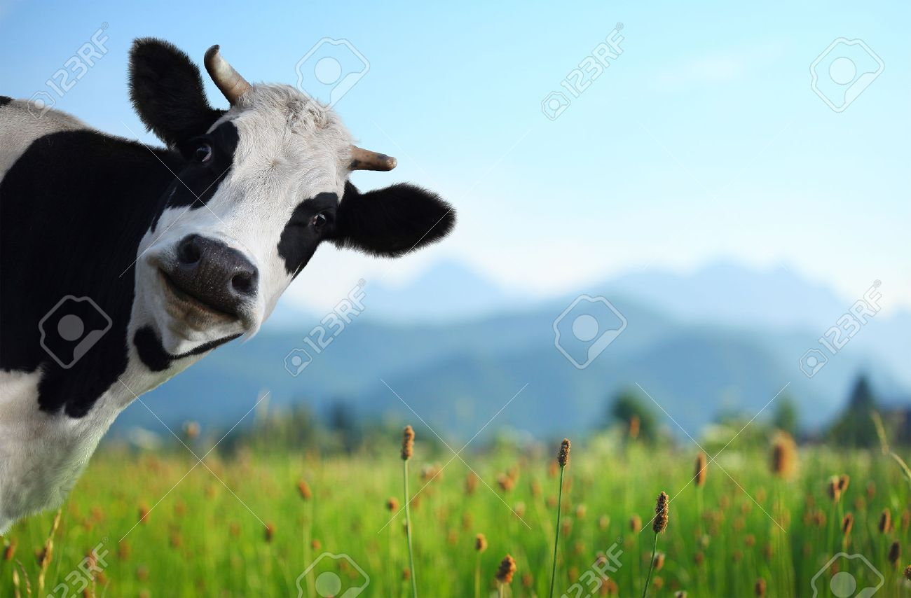 funny cow on a
