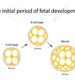 the initial period of fetal development the structure of the zygote blastocyst infographics [ 1300 x 634 Pixel ]