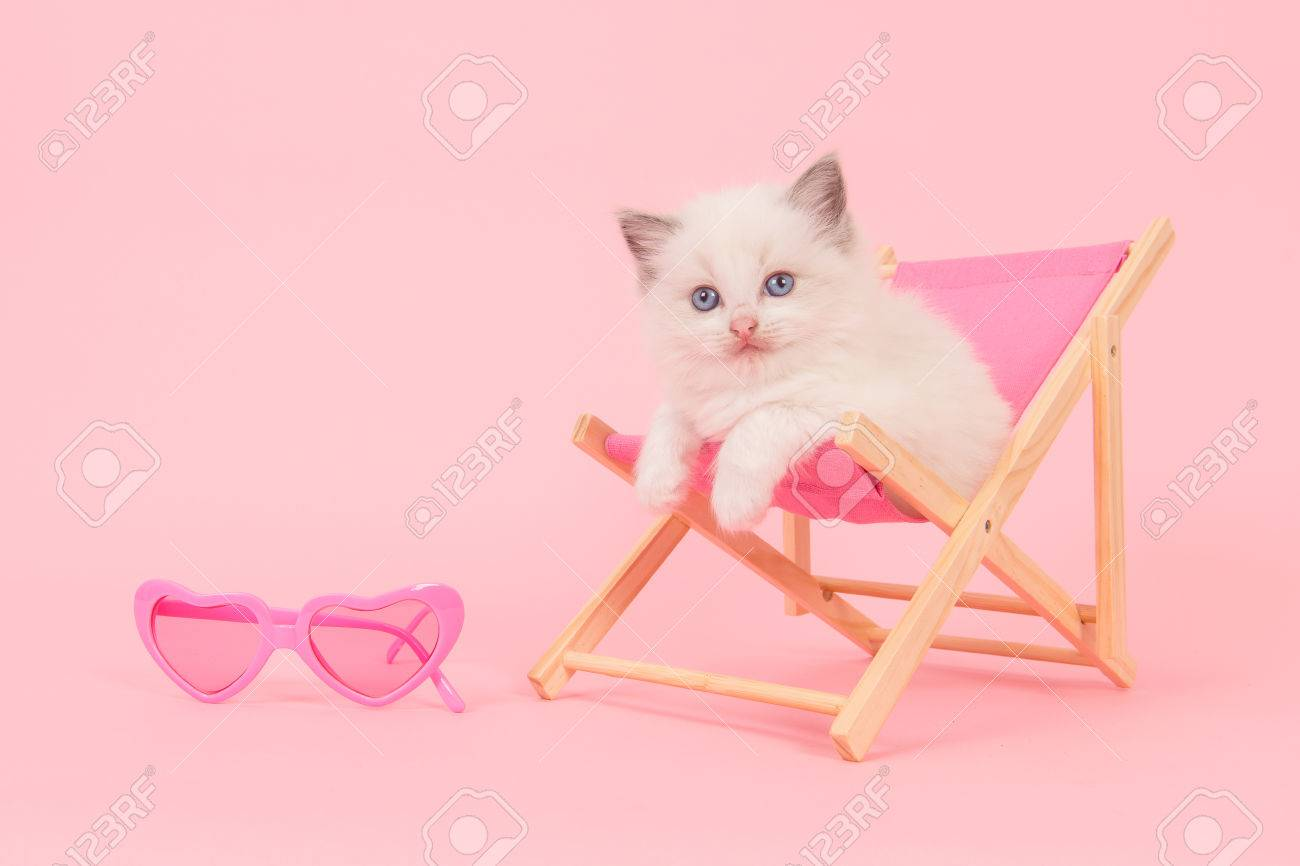 pink beach chair intex inflatable cute ragdoll baby cat in a with sunglasses on background