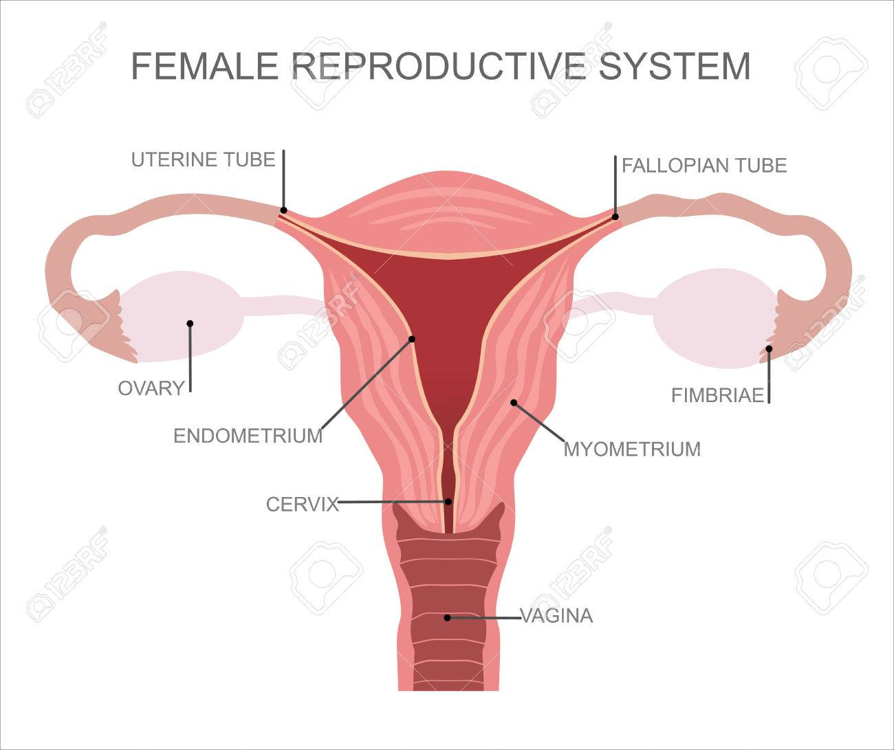 hight resolution of uterus and ovaries organs of female reproductive system stock vector 52780027