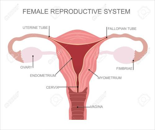 small resolution of uterus and ovaries organs of female reproductive system stock vector 52780027