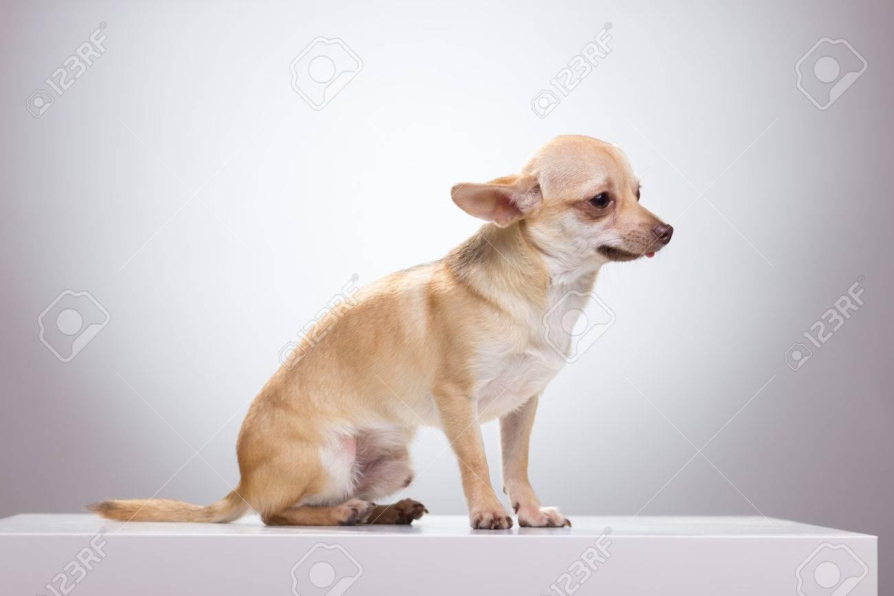 sad chihuahua dog sitting