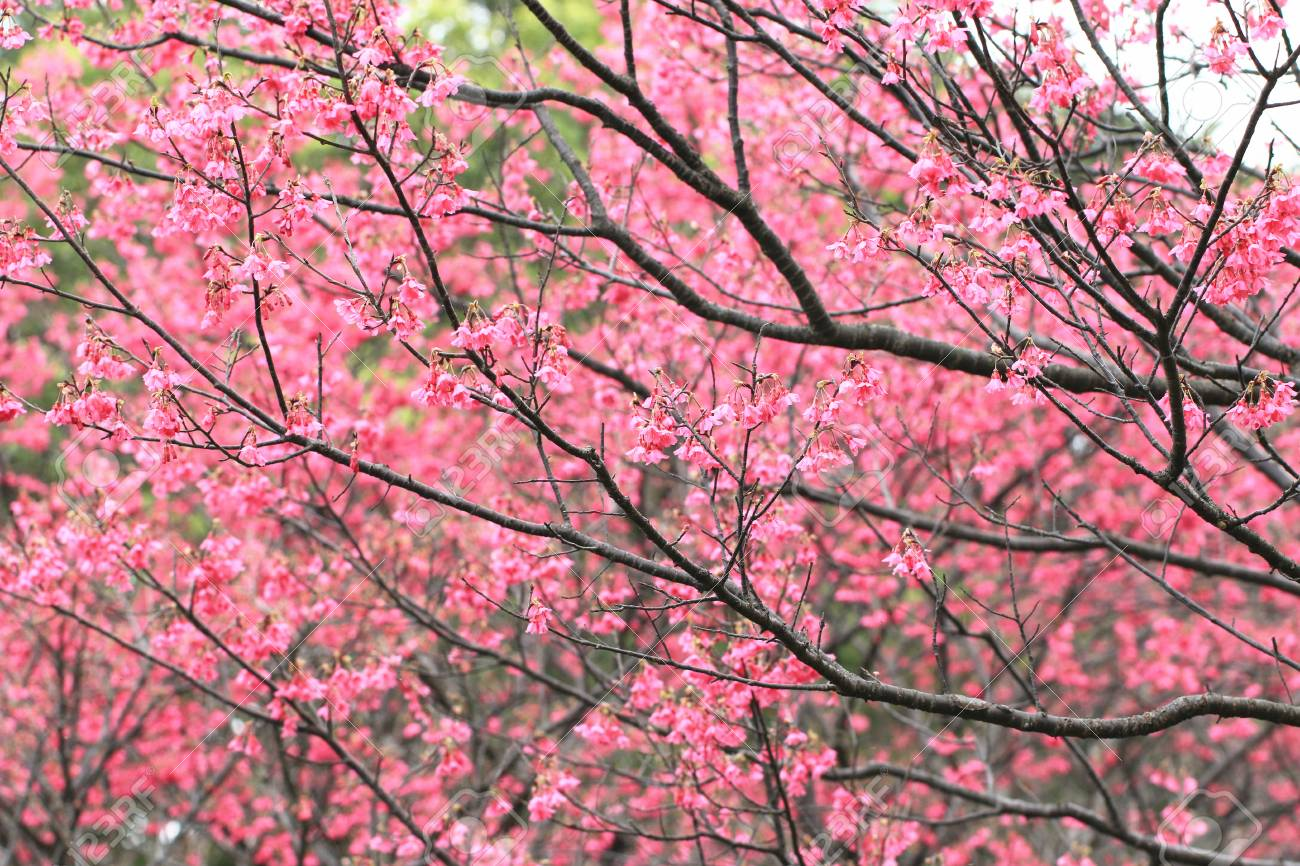 cherry blossoms many red