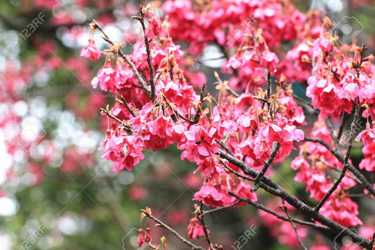 cherry blossoms in the