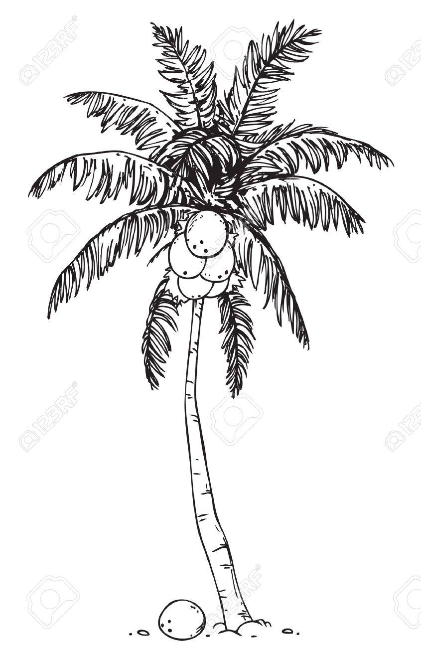 Palm Tree Clipart Black And White : clipart, black, white, Coconut, White, Background, Royalty, Cliparts,, Vectors,, Stock, Illustration., Image, 14645030.