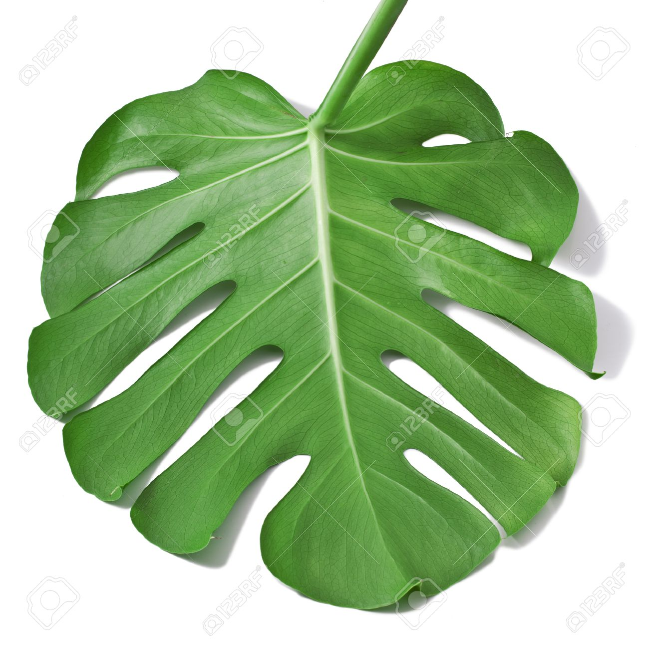 one big green leaf