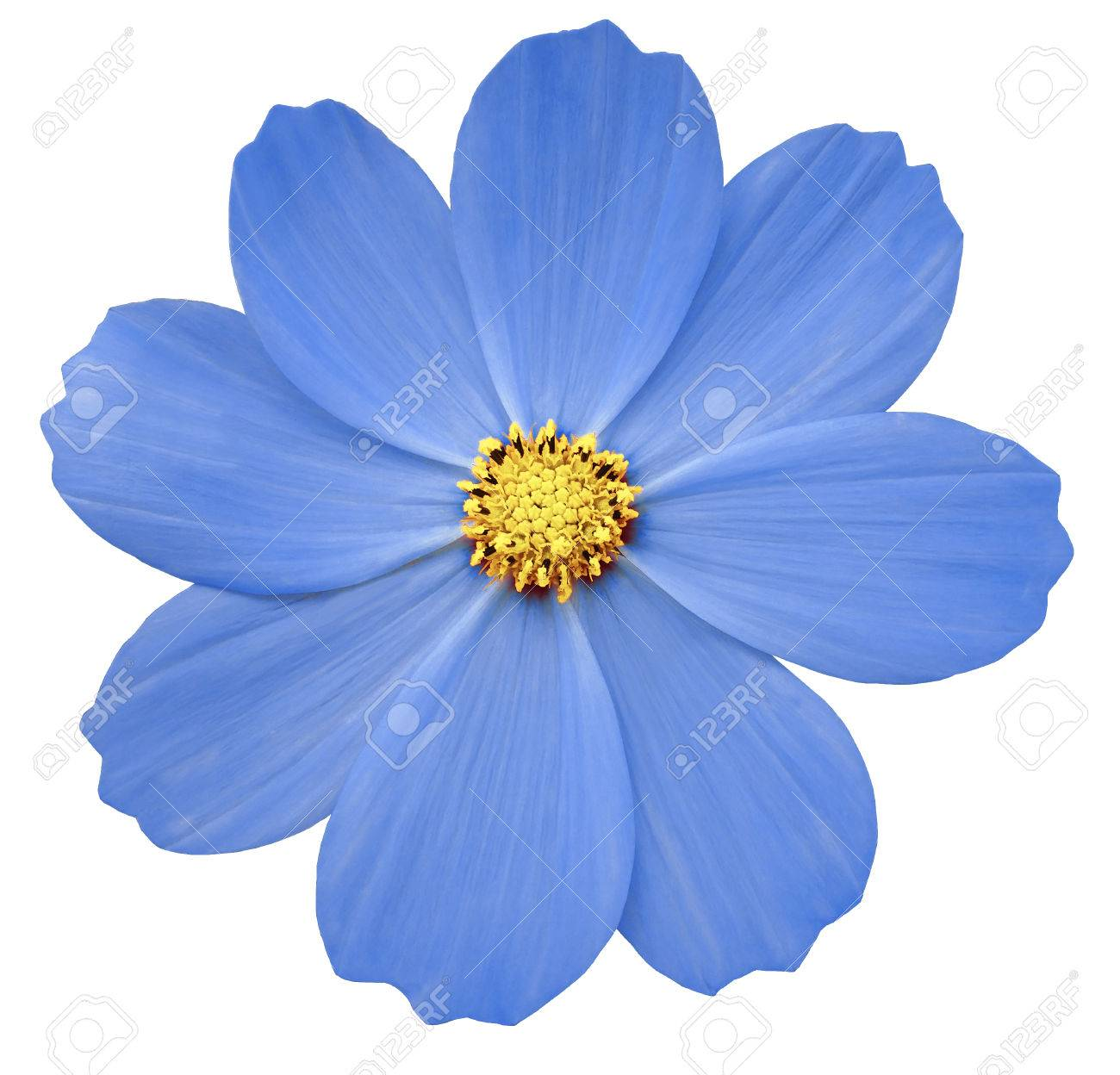 blue flower primula white