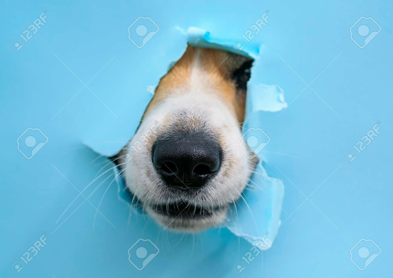 curious wet black dog nose poke in a hole in a torn and crumpled
