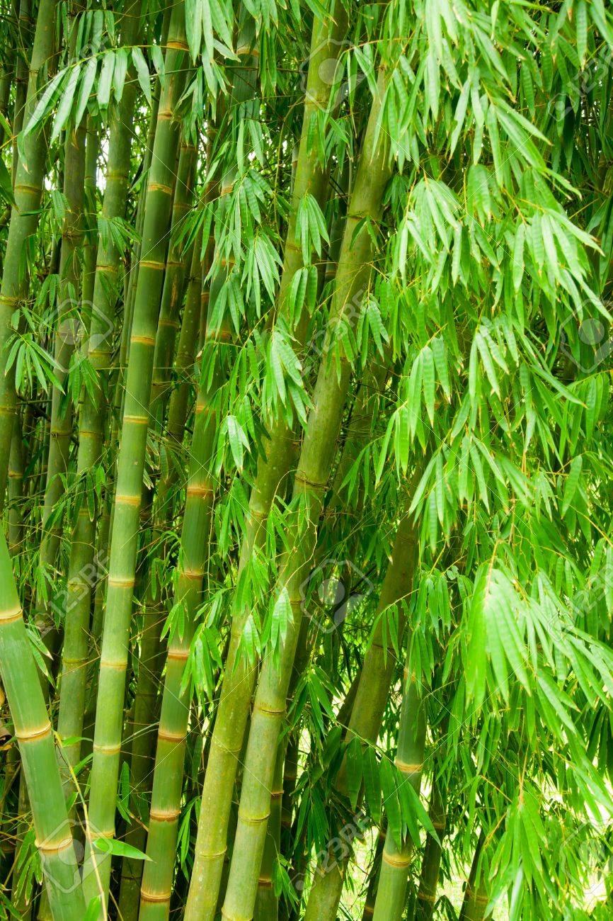 green bamboo trees natural