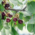 Dark Red Cherries Fruits Tree Cherry With Green Leaves And Branches Stock Photo Picture And Royalty Free Image Image 83753425