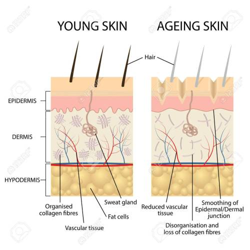 small resolution of vector young healthy skin and older skin comparison skin layers and wrinkles diagram