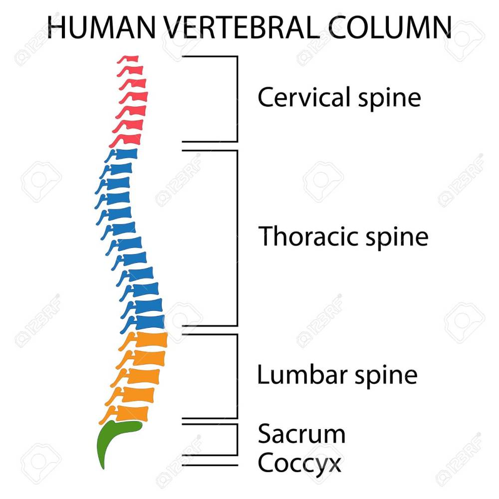 medium resolution of diagram of a human spine with names of all sections of the vertebrae stock vector
