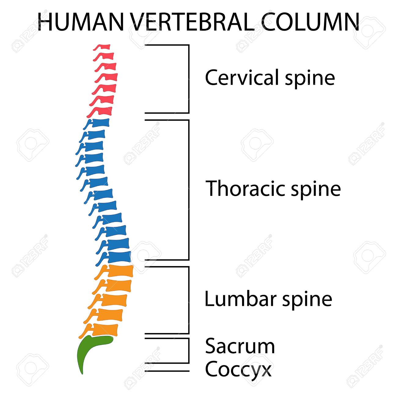 hight resolution of diagram of a human spine with names of all sections of the vertebrae stock vector