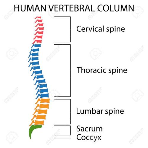 small resolution of diagram of a human spine with names of all sections of the vertebrae stock vector