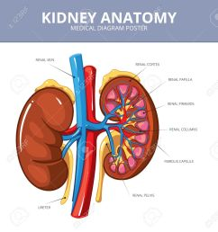 kidney medical vector diagram poster internal organ artery and tract vessel and ureter [ 1203 x 1300 Pixel ]