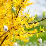 Easter Egg Decoration Hanging On Forsythia Tree Outdoor In Spring Stock Photo Picture And Royalty Free Image Image 19845053