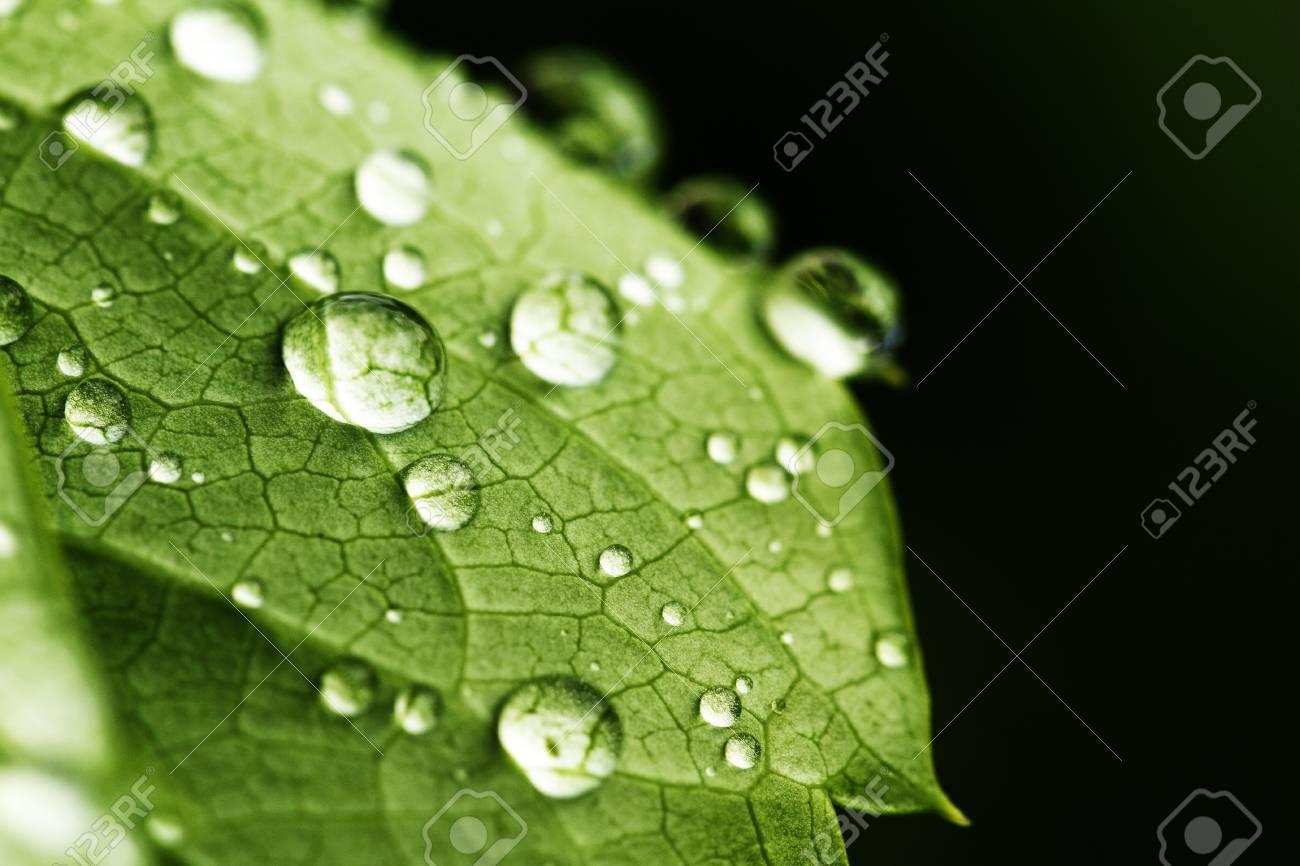 feuille verte et gouttes d eau detail