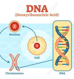 cell nucleus chromosome dna medical vector scheme diagram illustration stock vector [ 1300 x 949 Pixel ]