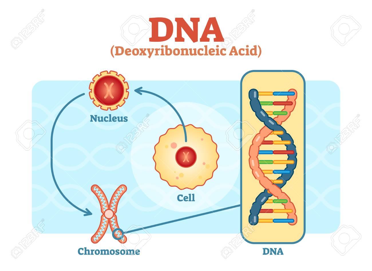 hight resolution of cell nucleus chromosome dna medical vector scheme diagram illustration stock vector