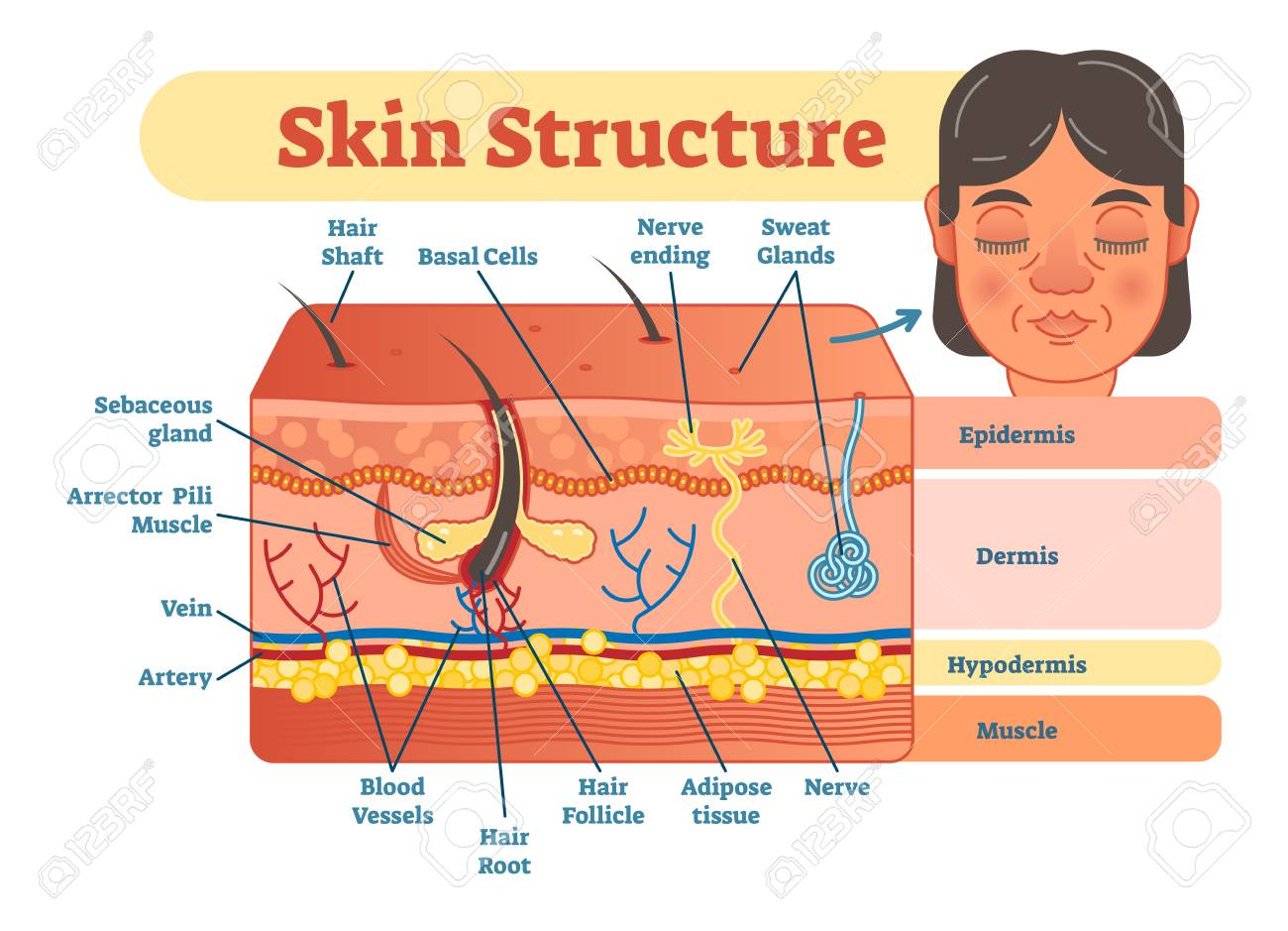 hight resolution of skin structure vector illustration diagram with skin layers and main elements educational medical dermatology information