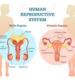 human reproductive system vector illustration diagram male and female medicine educational information stock [ 1300 x 1028 Pixel ]