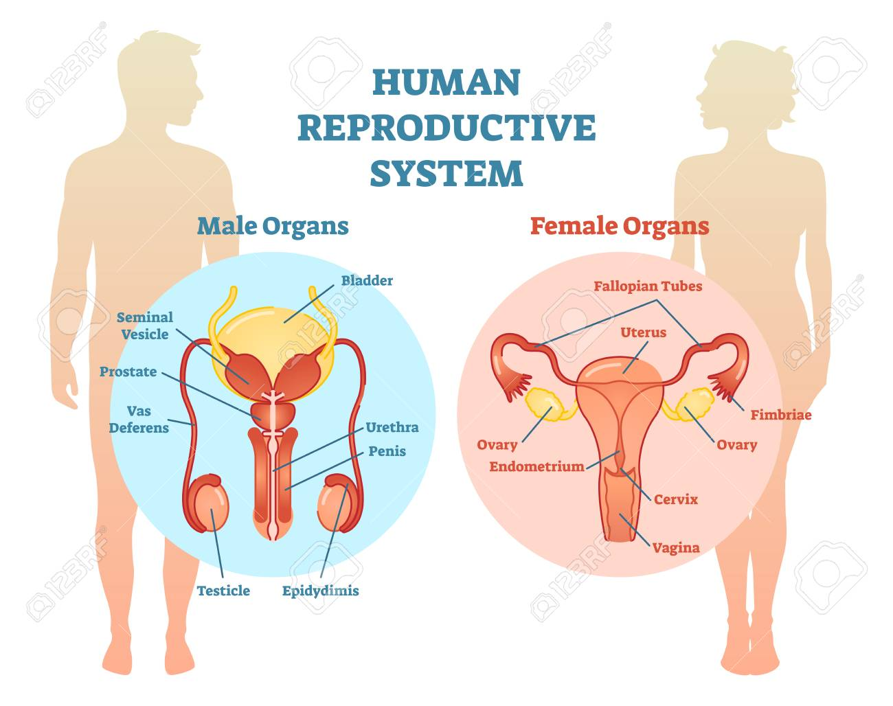 hight resolution of human reproductive system vector illustration diagram male and female medicine educational information stock