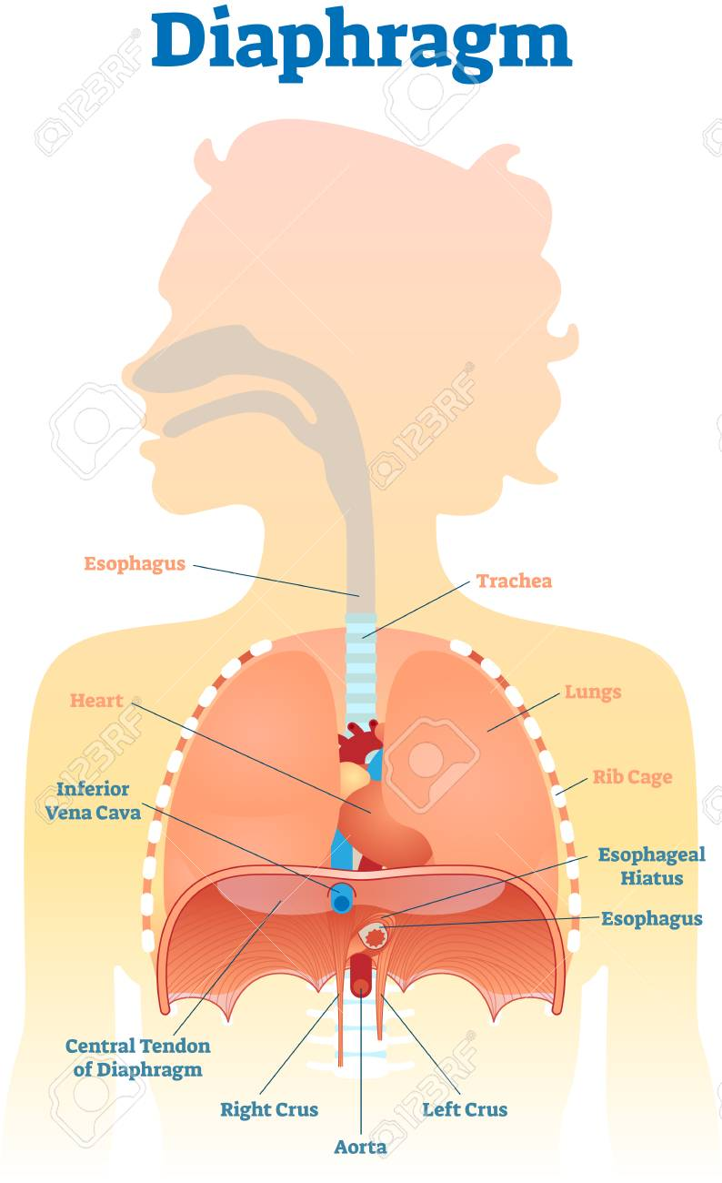 medium resolution of diaphragm anatomical vector illustration diagram educational medical scheme with human trachea esophagus rib