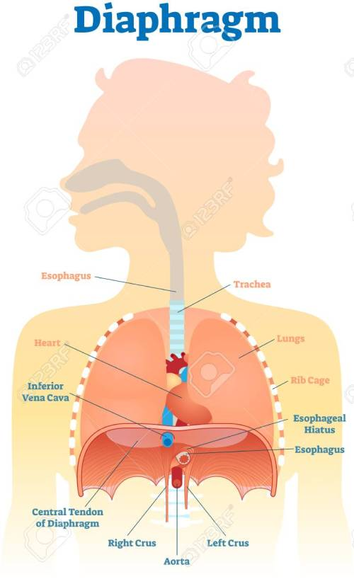 small resolution of diaphragm anatomical vector illustration diagram educational medical scheme with human trachea esophagus rib