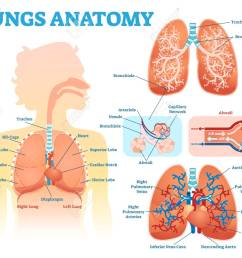 lungs anatomy medical vector illustration diagram set with lung lobes bronchi and alveoli stock [ 1300 x 1065 Pixel ]