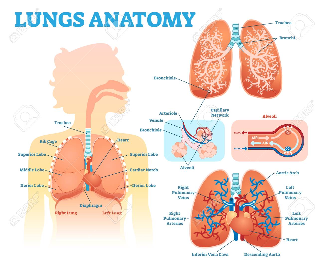 hight resolution of lungs anatomy medical vector illustration diagram set with lung lobes bronchi and alveoli stock
