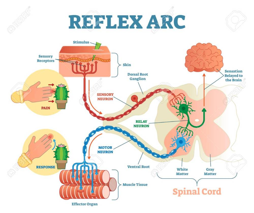 medium resolution of spinal reflex arc anatomical scheme vector illustration with spinal cord stimulus pathway to