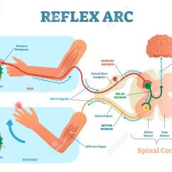 Reflex Arc Diagram Relay Wiring 4 Pole Spinal Anatomical Scheme Vector Illustration With Cord Stimulus Pathway To
