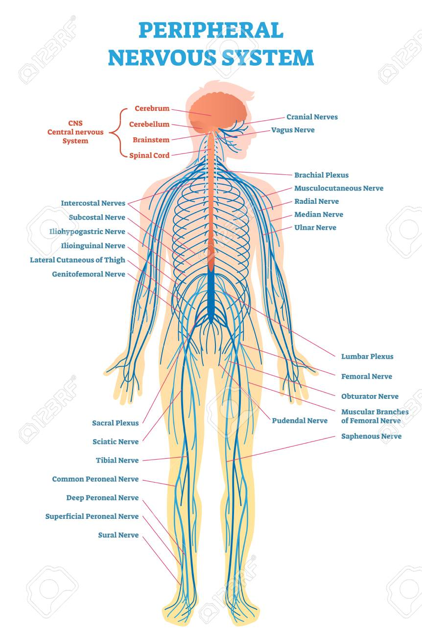 vagus nerve diagram of the human nose full body great installation wiring peripheral nervous system medical vector illustration rh 123rf com accessory