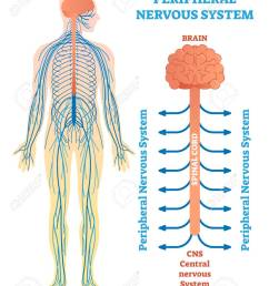 peripheral nervous system medical vector illustration diagram with brain spinal cord and nerves  [ 1011 x 1300 Pixel ]