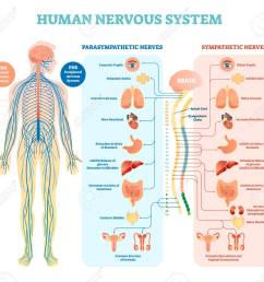 human nervous system medical vector illustration diagram with parasympathetic sympathetic nerves and all connected inner [ 1300 x 1198 Pixel ]