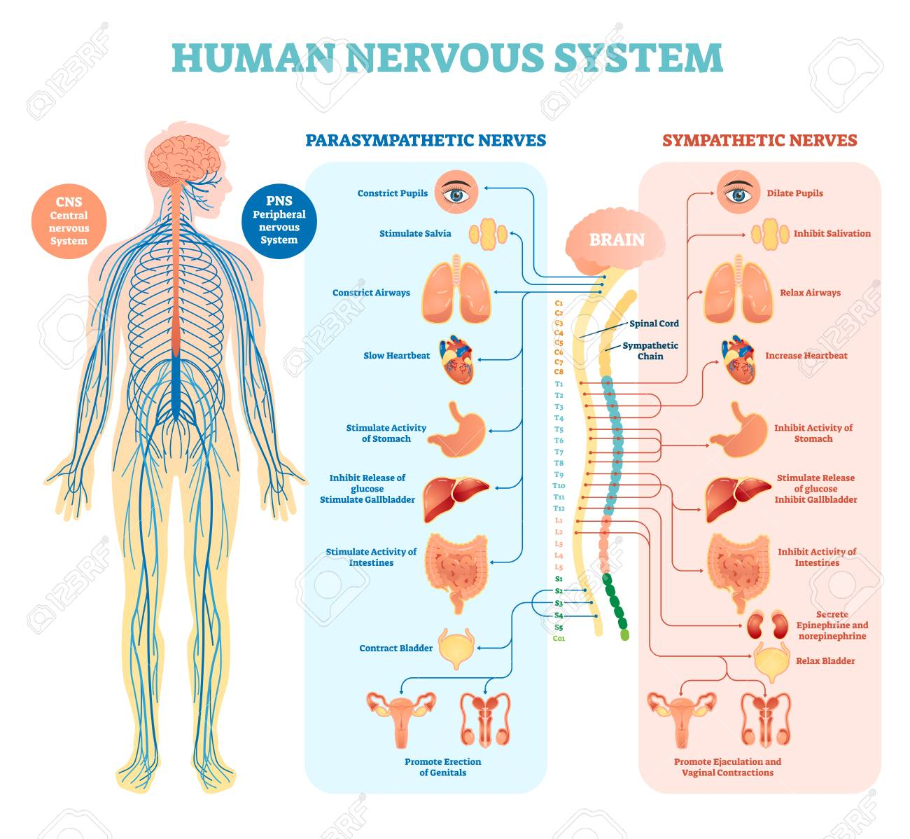 hight resolution of human nervous system medical vector illustration diagram with parasympathetic sympathetic nerves and all connected inner