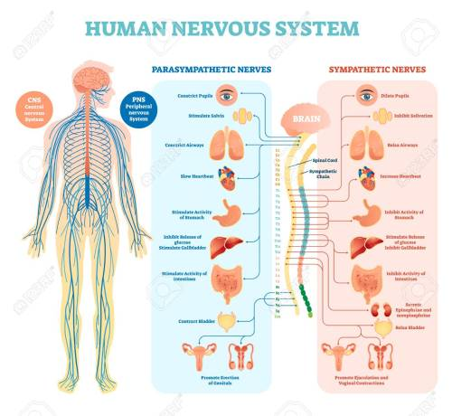 small resolution of human nervous system medical vector illustration diagram with parasympathetic sympathetic nerves and all connected inner