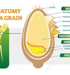 grain anatomical layers vector illustration diagram with bran endosperm germ and hull biology [ 1300 x 944 Pixel ]