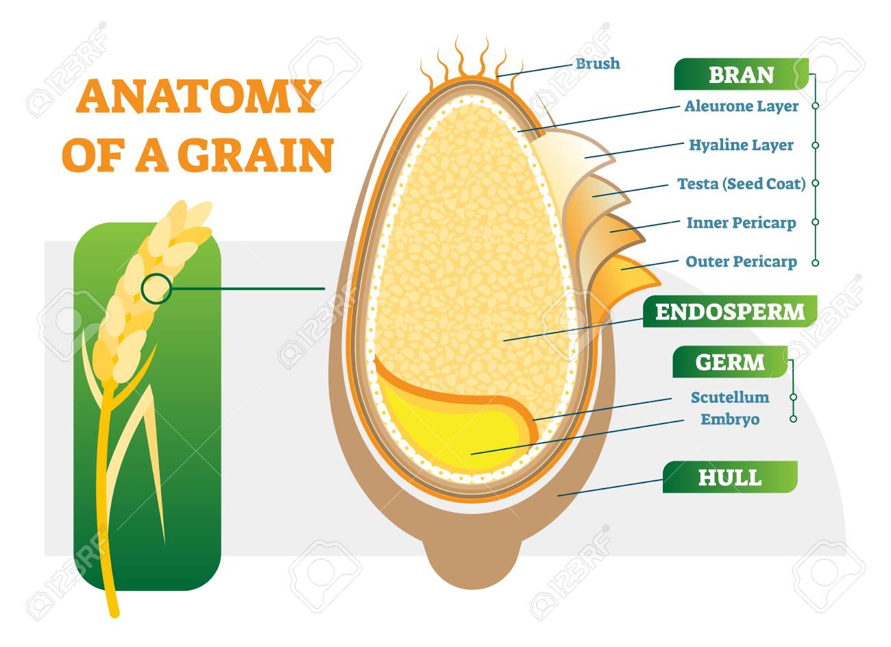 hight resolution of grain anatomical layers vector illustration diagram with bran endosperm germ and hull biology