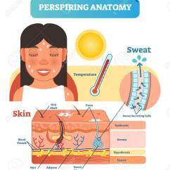 Skin Cross Section Diagram Wiring Of Motor Perspiring Anatomical Human Layers Vector Illustration Poster Stock 99226545