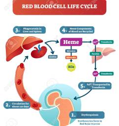 red blood cell life cycle medical vector illustration circulation diagram biological anatomy scheme with forming [ 1079 x 1300 Pixel ]