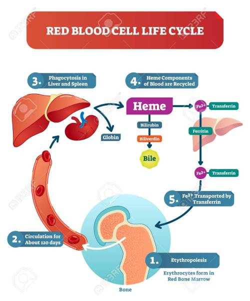 small resolution of red blood cell life cycle medical vector illustration circulation diagram biological anatomy scheme with forming