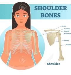 labeled human shoulder bone anatomical vector illustration diagram poster medical health care information stock [ 1300 x 1051 Pixel ]